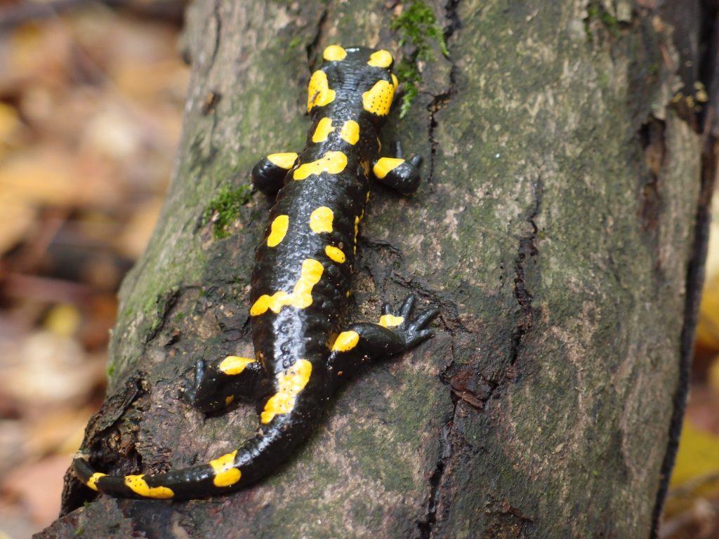 """""""Salamander Vietnam"""""""