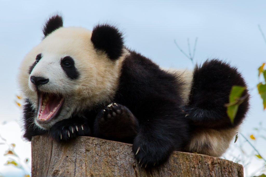 Urlaub in China - Pandabör