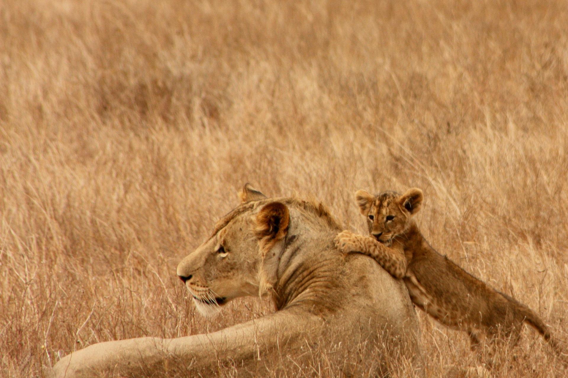 Bewundern Sie die schönen Löwen auf der All Inclusive Rundreise -Safari Kenia inklusive Badeurlaub