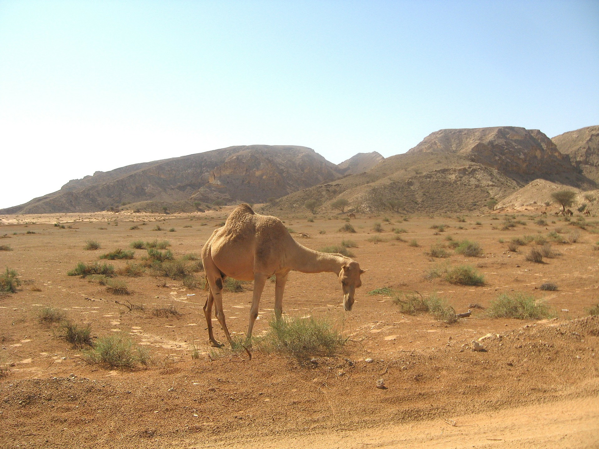 Kamele - während des Urlaub in Dubai