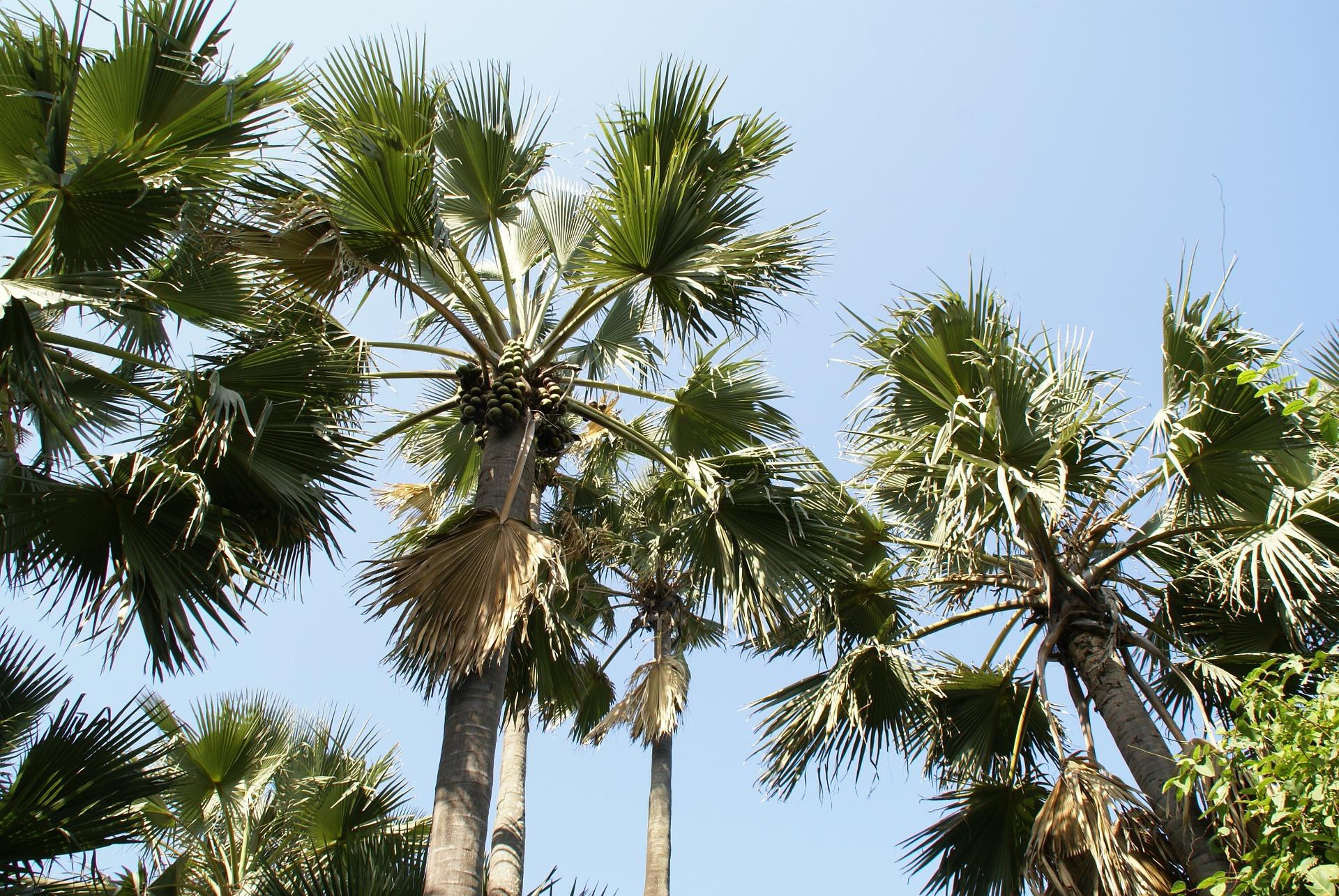 Palmen in Gambia