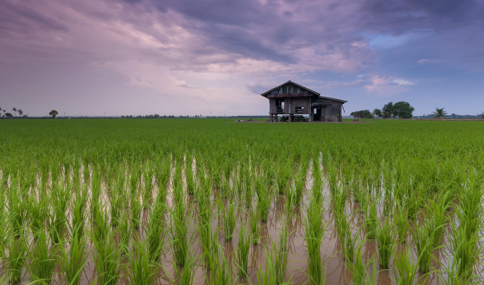 Zahlreiche Reisfelder ,werdet Ihr auf dem weg an den Strand, in Vietnam sehen. Backpacker übernachten sogar in den Hütten