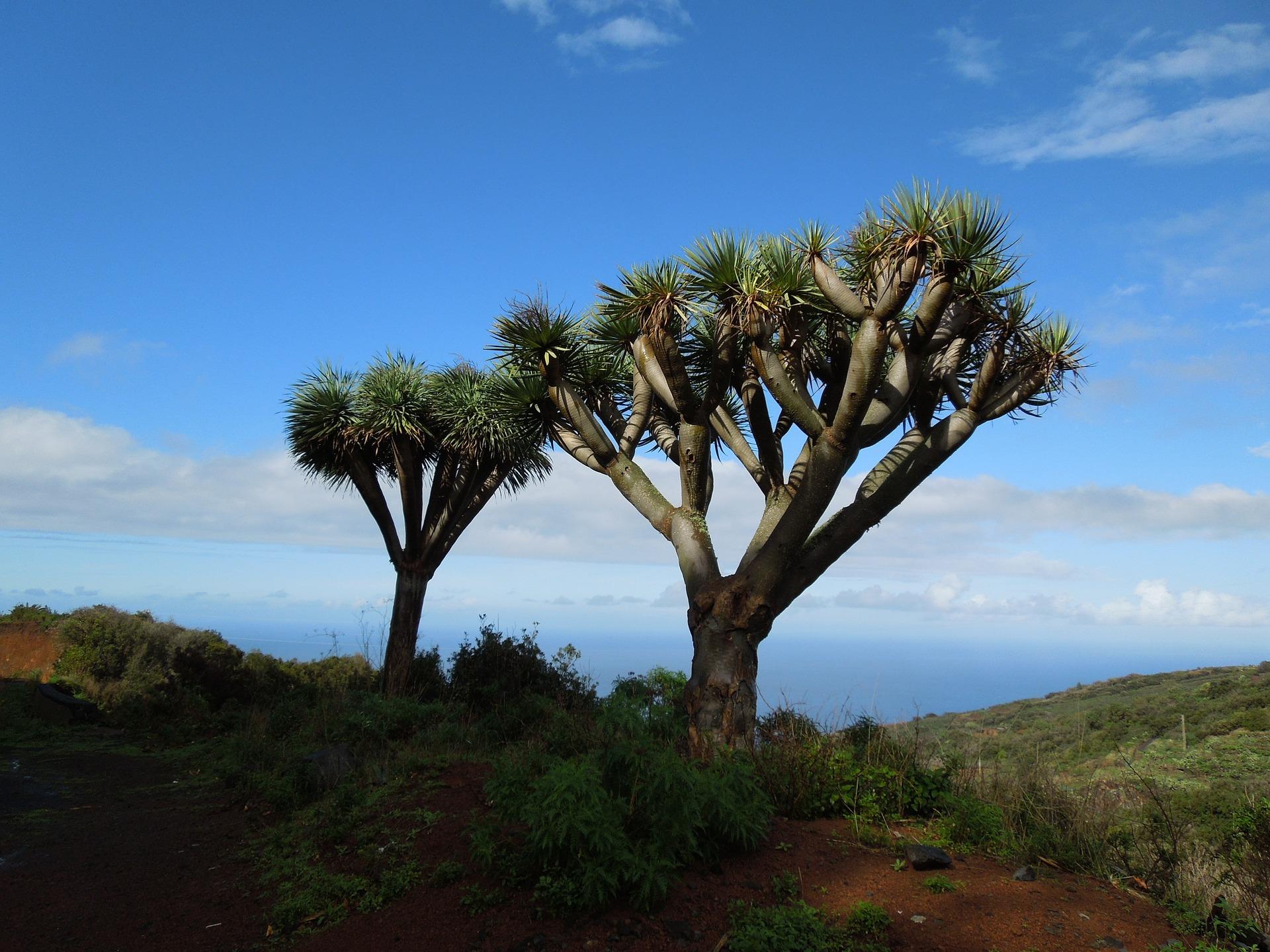 Drachenbaum auf der Insel - hier hat die Landschaft einen afrikansichen Flair auch wenn wir uns auf europäischem Boden befinden