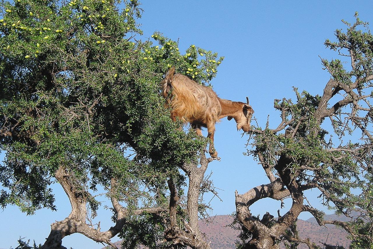 Es ist normal Ziegen in Nordafrika auf Bäumen zu sehen