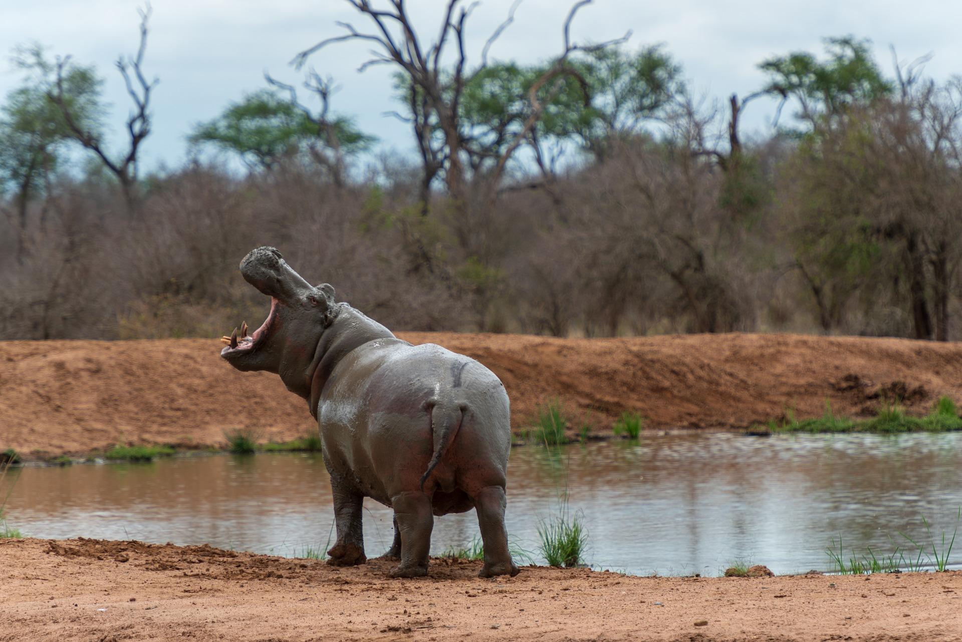 Hippo's der Geheim Tipp für eine Safari in Afrika