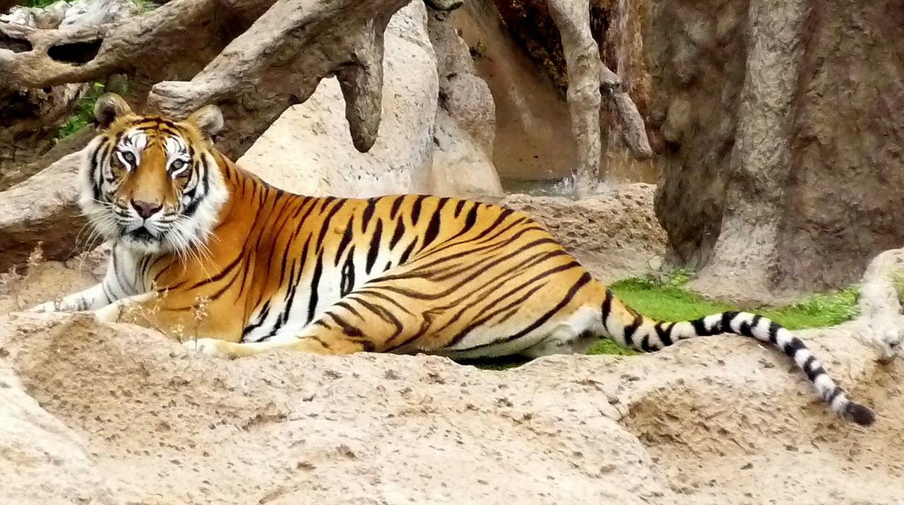 Selbst Bengalische Tiger sind auf der Insel zu sehen im Loro Parque ab 37,00€