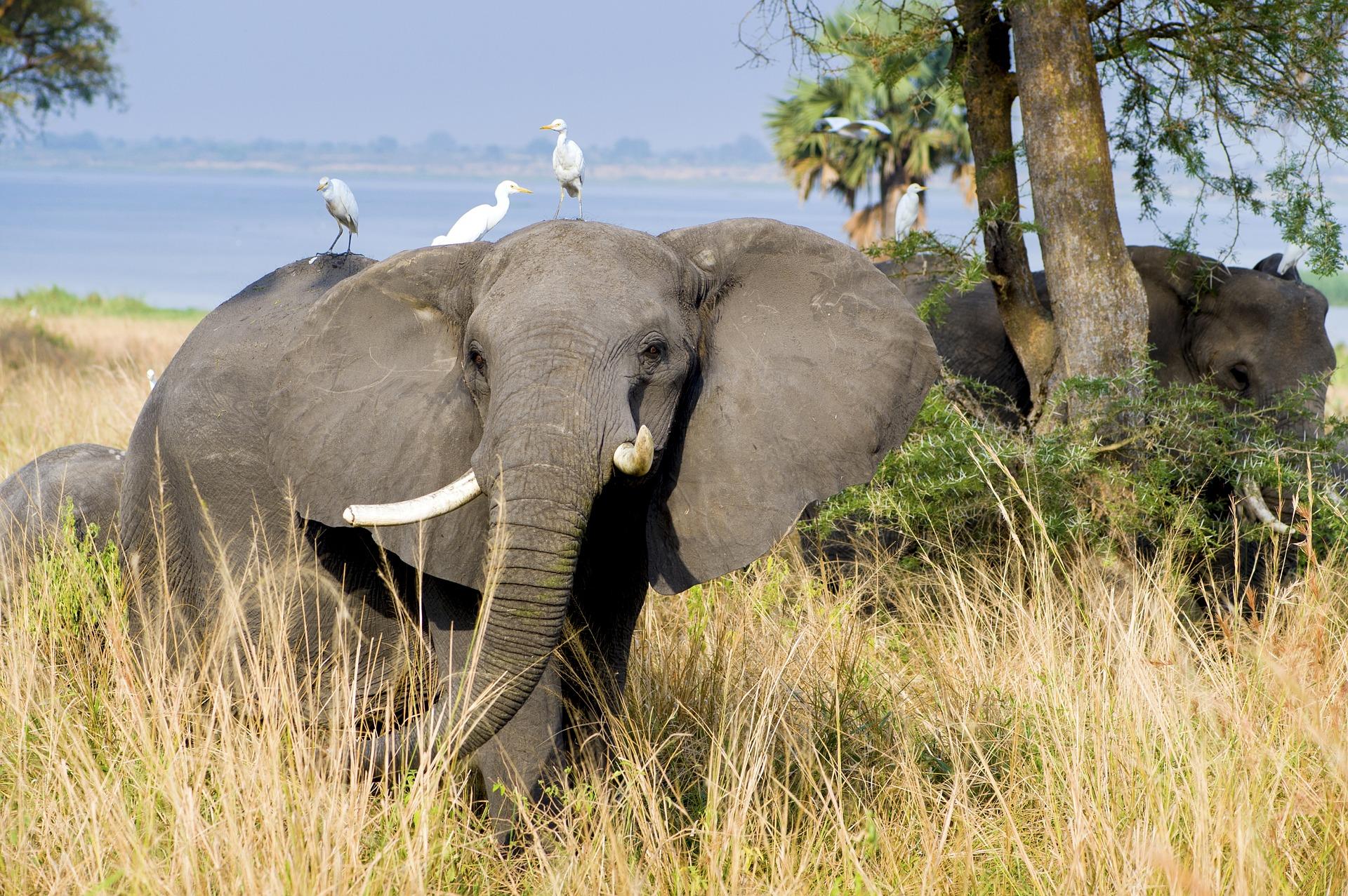 Uganda was gibt es schöneres als eine Safari in Afrika zu unternehemen