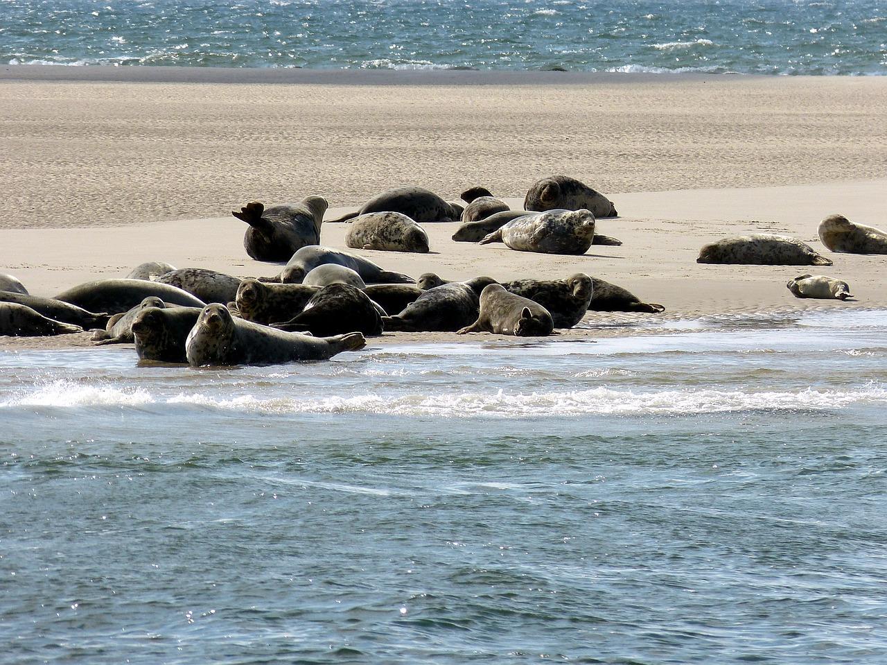 Unser Wattenmeer ist bewohnt von Seehunden