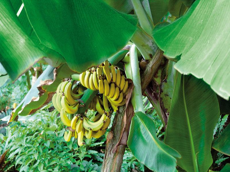 Selbst Bananen wachsen in dem Ferien Ort