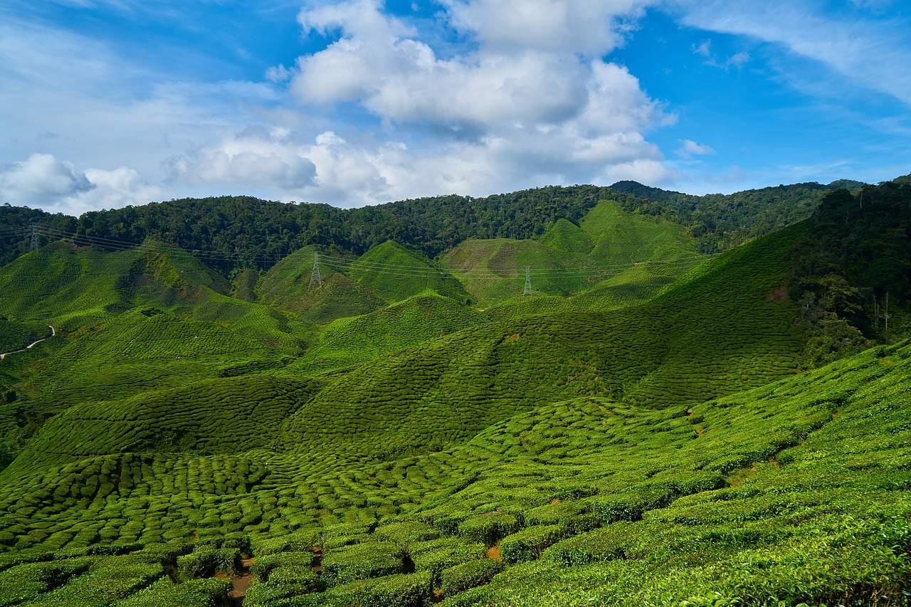 Hier wird Tee in den Bergen gezüchtet