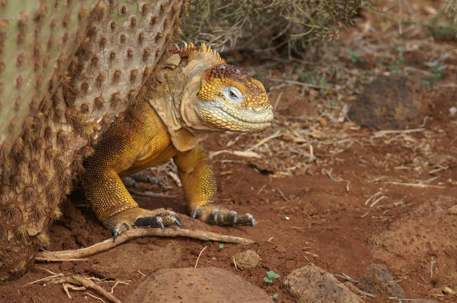 Leguana gehen dir auf der Insel nicht aus dem Weg die Tiere hier sind friedlich