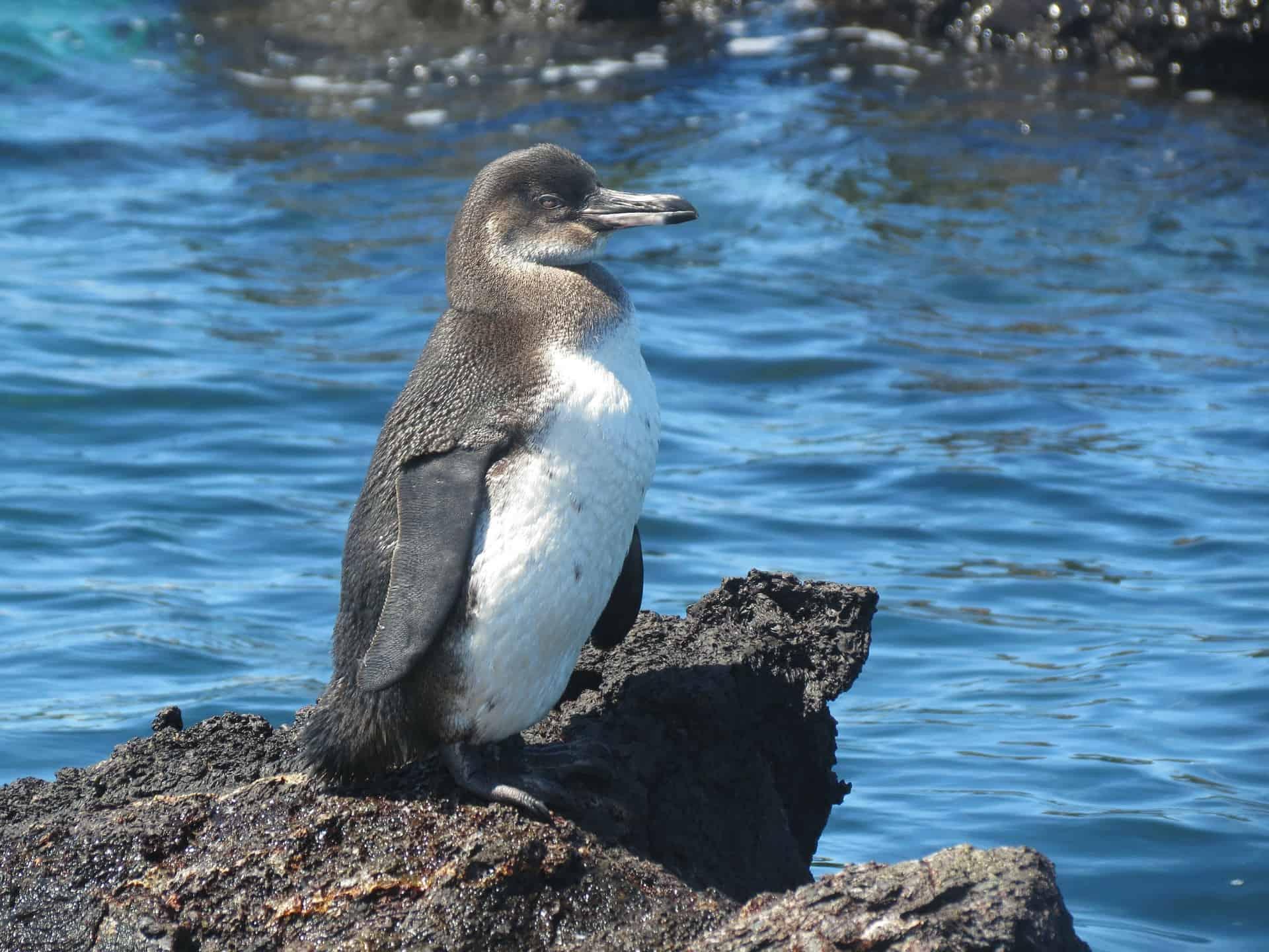 Nicht nur auf Charles Station leben Pinguine - Galapagos Inseln Rundreise