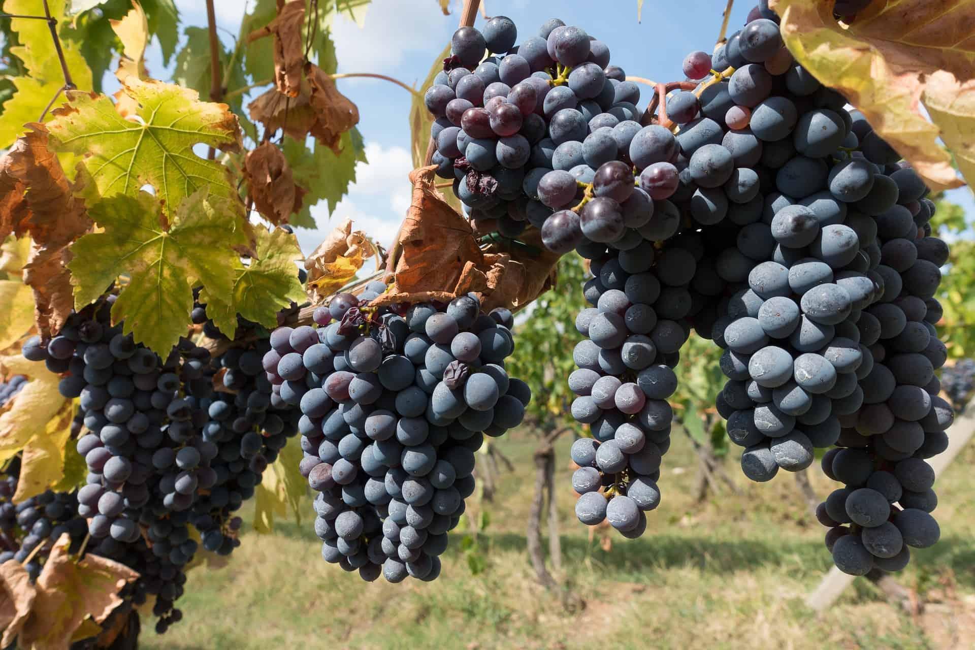 Familienurlaub bei Chianti - saftige Früchte erwarten euch in den Sommerferien