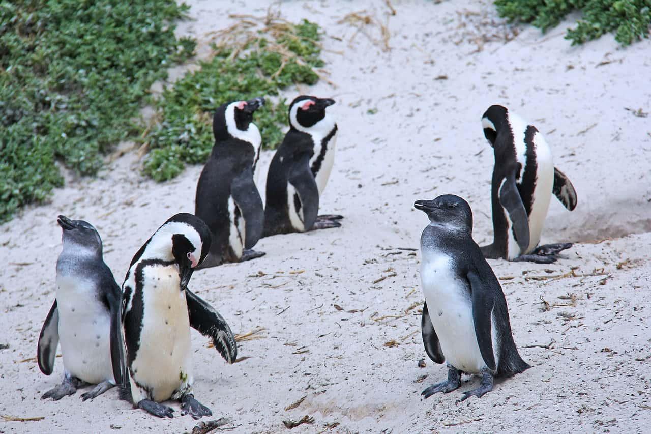 Flüge nach Kapstadt bringen dich zu den Pinguinen