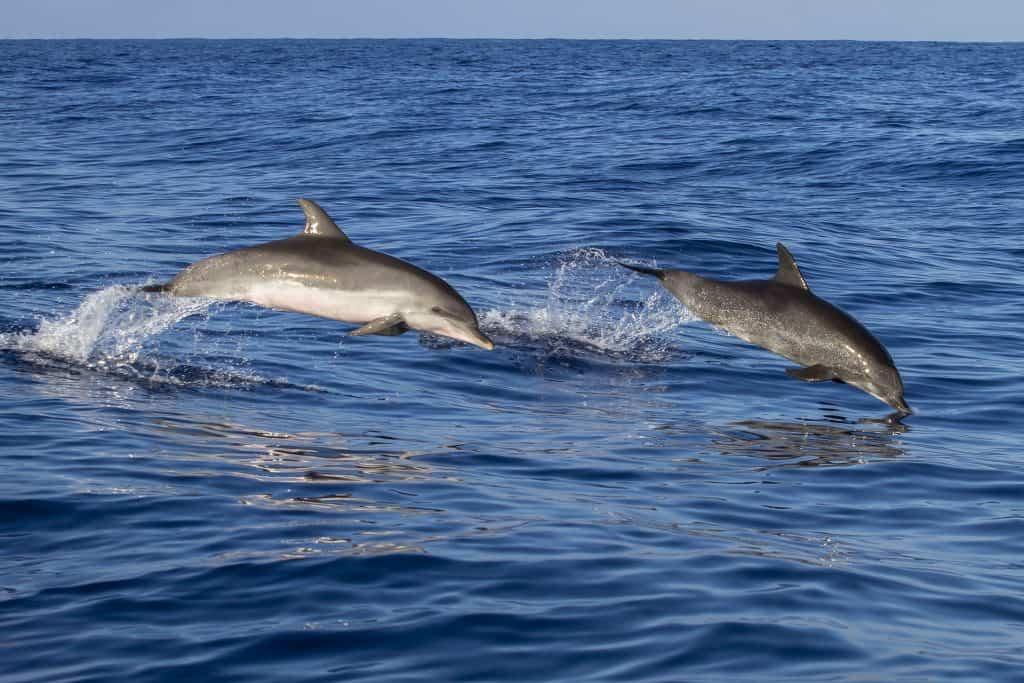 Delfine im atlantischen Ozean - im Osten der Insel bestens zu erkunden