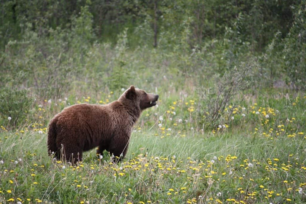 Grizzly Bären sind liebe Tiere, Ihr bracuht keine Panik zu bekommen wenn Ihr mal einem Begegnet ganz im gegenteil